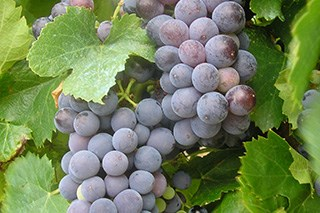 Red wine component works against cancer