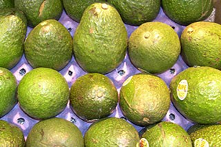 Avocados may hold the answer to beating leukemia