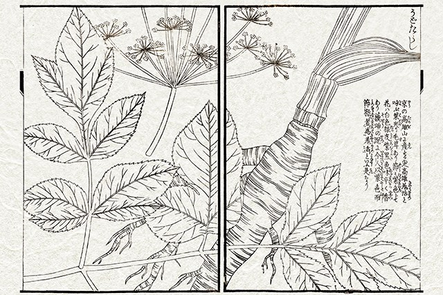 19th century Japanese botanical illustration